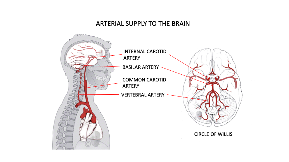 CFD Arterial Supply to the Brain