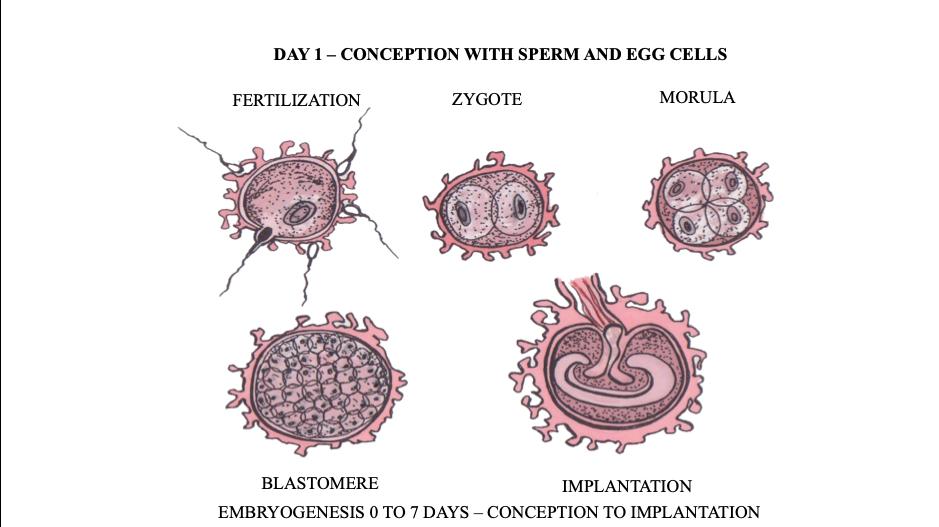 CFD Embryogenesis