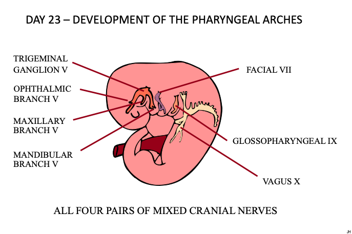 CFD Pharyngeal Arches