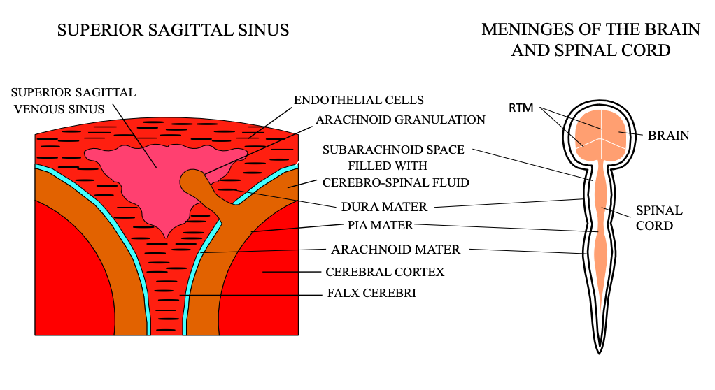 CFD Sagittal Sinus and Meninges
